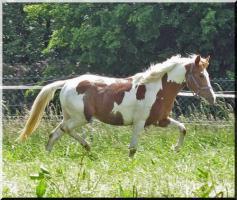 Foto 10 Bewegungsstarkes DRP - Pinto Pony für Tunier und Freizeit