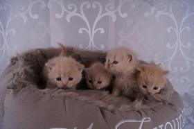 Foto 2 Bezaubernde BKH Babys