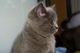 Bezaubernde BKH-Kitten in blau, fawn, lilac und creme