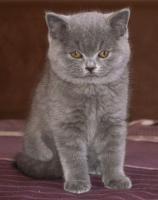Foto 2 Bezaubernde BKH-Kitten in blau, fawn, lilac und creme