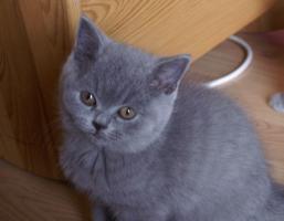 Foto 5 Bezaubernde BKH-Kitten in blau, fawn, lilac und creme