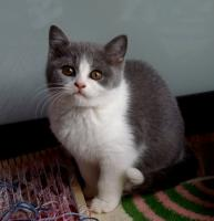 Foto 6 Bezaubernde BKH-Kitten in blau, fawn, lilac und creme