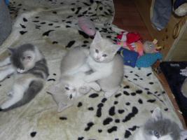 Foto 4 Bezaubernde BKH Kitten in creme-white