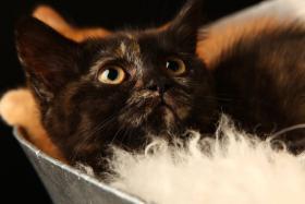 Foto 2 Bezaubernde BKH Kitten in red und tortie