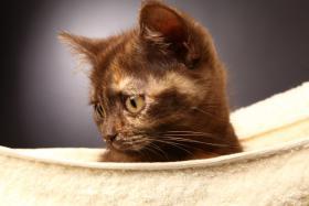Foto 3 Bezaubernde BKH Kitten in red und tortie