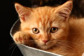 Foto 5 Bezaubernde BKH Kitten in red und tortie