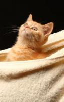 Foto 6 Bezaubernde BKH Kitten in red und tortie