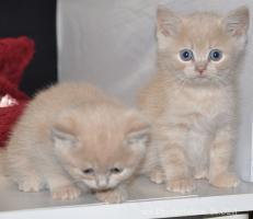 Bezaubernde Britisch Kurzhaar Kätzchen abzugeben