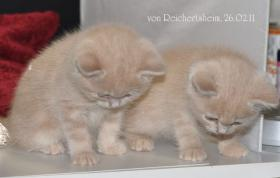 Foto 2 Bezaubernde Britisch Kurzhaar Kätzchen abzugeben