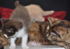 Foto 3 Bezaubernde Britisch Kurzhaar Kätzchen abzugeben