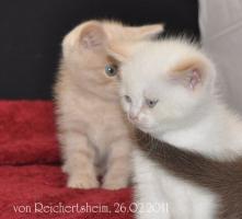 Foto 4 Bezaubernde Britisch Kurzhaar Kätzchen abzugeben