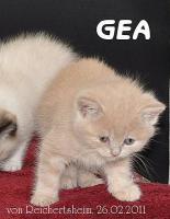 Foto 5 Bezaubernde Britisch Kurzhaar Kätzchen abzugeben