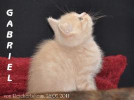 Foto 7 Bezaubernde Britisch Kurzhaar Kätzchen abzugeben