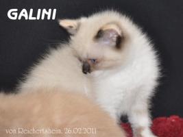 Foto 8 Bezaubernde Britisch Kurzhaar Kätzchen abzugeben