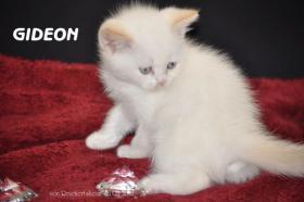 Foto 9 Bezaubernde Britisch Kurzhaar Kätzchen abzugeben