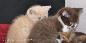Foto 10 Bezaubernde Britisch Kurzhaar Kätzchen abzugeben