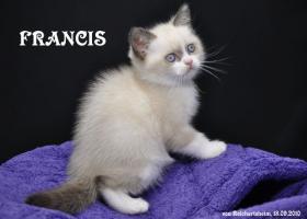 Bezaubernde Britisch Kurzhhaar (BKH) Katzenkinder