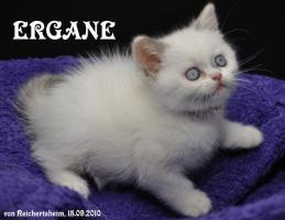 Foto 3 Bezaubernde Britisch Kurzhhaar (BKH) Katzenkinder