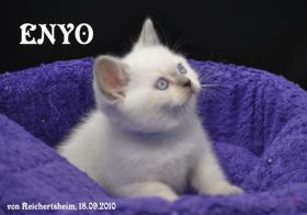 Foto 4 Bezaubernde Britisch Kurzhhaar (BKH) Katzenkinder
