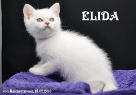 Foto 5 Bezaubernde Britisch Kurzhhaar (BKH) Katzenkinder