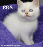 Foto 6 Bezaubernde Britisch Kurzhhaar (BKH) Katzenkinder