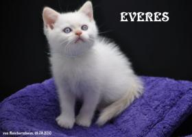 Foto 7 Bezaubernde Britisch Kurzhhaar (BKH) Katzenkinder
