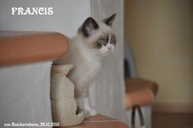 Bezaubernde Colourpoint BKH Katzenkinder abzugeben