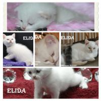 Foto 2 Bezaubernde Colourpoint BKH Katzenkinder abzugeben