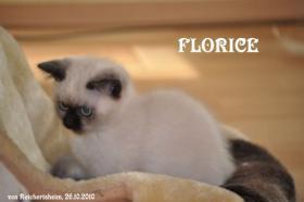 Foto 3 Bezaubernde Colourpoint BKH Katzenkinder abzugeben