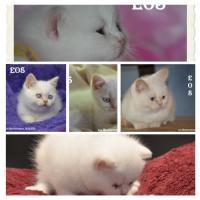 Foto 4 Bezaubernde Colourpoint BKH Katzenkinder abzugeben