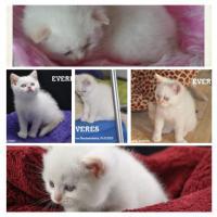 Foto 6 Bezaubernde Colourpoint BKH Katzenkinder abzugeben