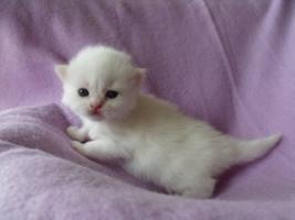 Foto 2 Bezaubernde Highlander Kitten mit Stammbaum