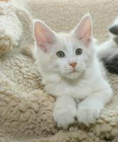 Foto 2 Bezaubernde Maine Coon Katzenkinder
