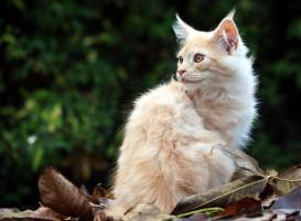 Foto 2 Bezaubernde Maine Coon Kitten mit Stammbaum