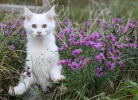 Foto 3 Bezaubernde Maine Coon Kitten mit Stammbaum