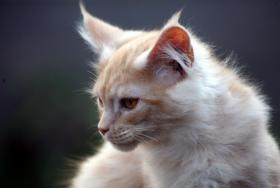 Foto 4 Bezaubernde Maine Coon Kitten mit Stammbaum