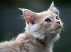Foto 5 Bezaubernde Maine Coon Kitten mit Stammbaum