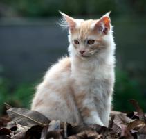 Foto 6 Bezaubernde Maine Coon Kitten mit Stammbaum