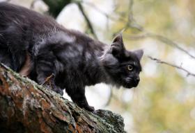 Foto 8 Bezaubernde Maine Coon Kitten mit Stammbaum