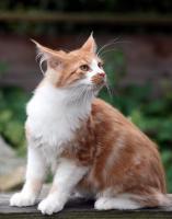 Foto 9 Bezaubernde Maine Coon Kitten mit Stammbaum