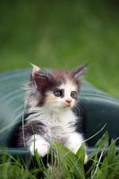 Foto 13 Bezaubernde Maine Coon Kitten mit Stammbaum