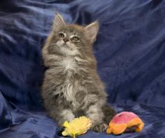 Bezaubernde Maine Coon Kitten, reinrassig mit Papieren