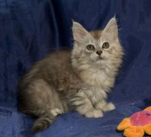 Foto 4 Bezaubernde Maine Coon Kitten, reinrassig mit Papieren