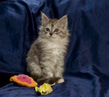 Foto 5 Bezaubernde Maine Coon Kitten, reinrassig mit Papieren