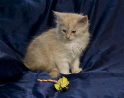 Foto 6 Bezaubernde Maine Coon Kitten, reinrassig mit Papieren