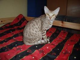 Bezaubernde Ocicat-Dame in cinnamon silver spotted abzugeben !!!