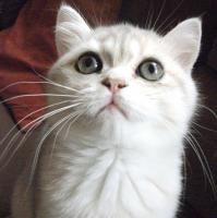 Bezaubernde Perser u Exotic Shorthair Kitten in seltenen Farben mP süß