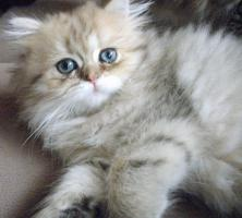 Foto 2 Bezaubernde Perser u Exotic Shorthair Kitten in seltenen Farben mP süß