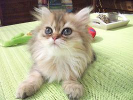 Foto 3 Bezaubernde Perser u Exotic Shorthair Kitten in seltenen Farben mP süß