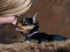 Foto 2 Bezaubernde Yorkshire Terrier Welpen aus seri�ser Hobbyzucht